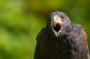 falco di harris
