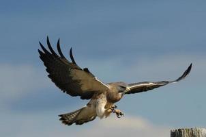 atterraggio in volo del falco di Swainson
