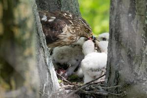 falco di Cooper-s che alimenta i pulcini