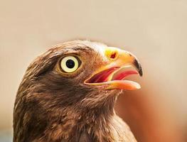 falco coda rossa foto