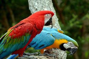 coppia di macaw seduto sul ramo foto