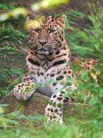 leopardo di amur (panthera pardus orientalis) foto