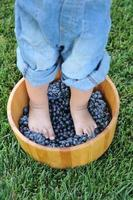calpestare l'uva foto