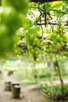 vicino uva verde foto