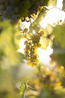 grappolo d'uva bianca sulla pianta