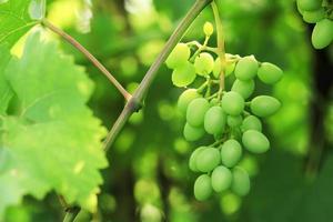 grappolo d'uva. foto