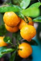 piccolo albero di arancio foto