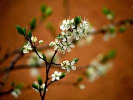 fiore di ciliegio