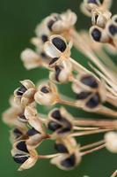 baccelli di semi di erba cipollina aglio foto