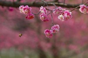 ape che vola verso i fiori di prugna. foto