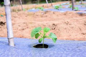 pacciamatura di giovani piantagioni di melone con film plastico. foto
