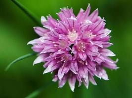 fiore di erba cipollina foto