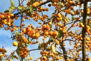 albero di mele foto