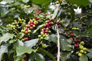 albero del caffè foto