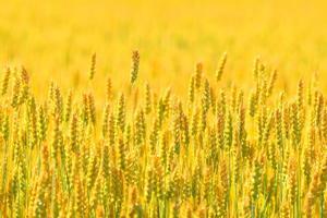 campo contadino di sfondo di grano foto