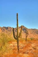 cactus Saguaro foto