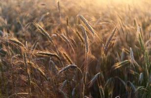 orecchie di segale nella luce dorata del tramonto foto