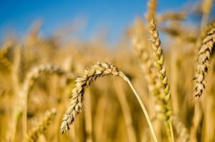 campo di grano - mais in crescita