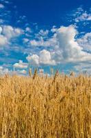 campo di grano, raccolto fresco di grano