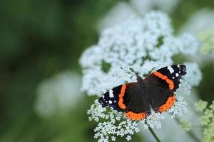 red admiral butterfly (vanessa atalanta) foto