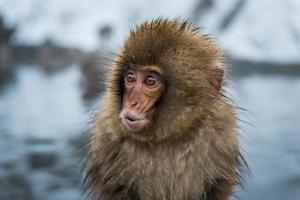 scimmia di neve