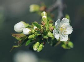 ciliegia di primavera foto
