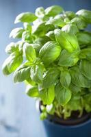 erba di basilico fresco in una pentola foto