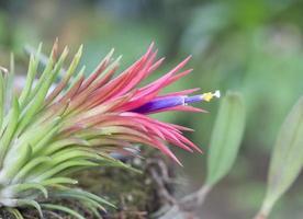 tillandsia ionantha in fiore