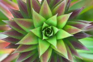 primo piano sulla pianta di ananas foto