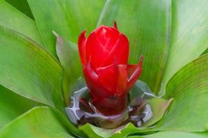 nucleo di ananas, blomeliad foto