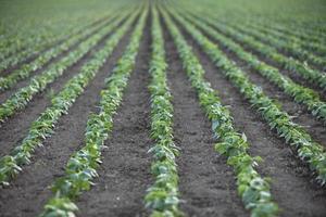 filari di piantine nella fattoria foto