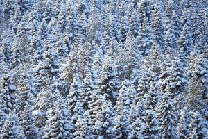 foresta di conifere invernale foto