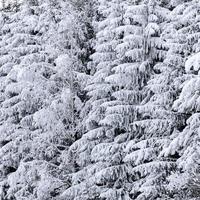 abeti invernali foto
