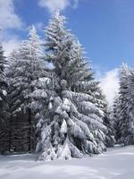 schneebaum / paese delle meraviglie invernale foto