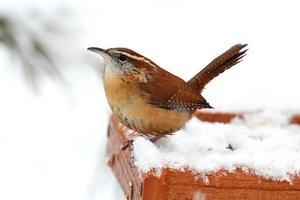 scricciolo di Carolina in inverno foto