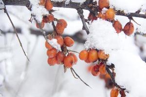 olivello spinoso. inverno. neve. foto