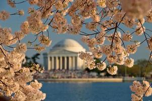 fiori di ciliegio a washington dc