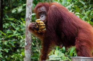 orang utan mangiare banane nel borneo indonesia foto
