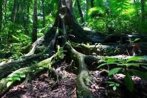 Radici dell'albero della foresta pluviale alla gola del muschio