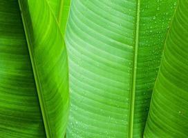 foglia di banana verde foto