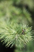 aghi di pino