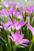 fiore rosa del giglio della pioggia in mattina