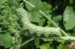 Hornworm del pomodoro sulla pianta di pomodori, vista laterale foto