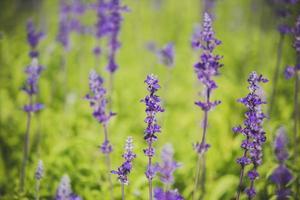 salvia sclarea fiori erbe
