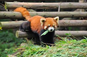 panda rosso che esce foto