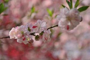 fiore di pesco rosso e bianco foto