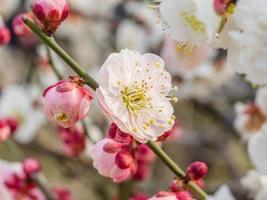 fiori in serie di primavera: fioritura della prugna. foto