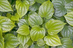 foglie verdi di piper betle o betel foto