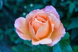 rosa pesca foto