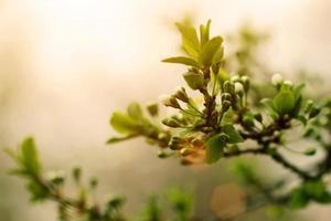 albero di albicocca fioritura all'alba foto